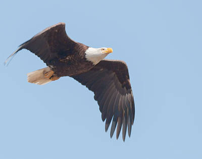 Photograph - Eagle In Flight by Richard Kopchock