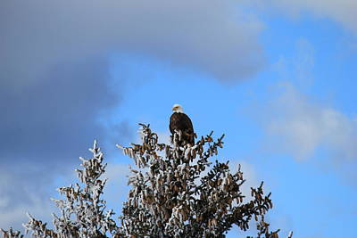 Photograph - Eagle In Frosty Pine by Trent Mallett