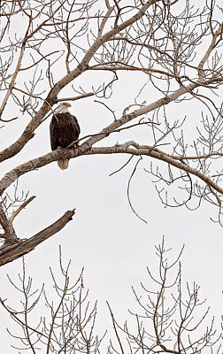 Photograph - Eagle In Tree by Deb Buchanan