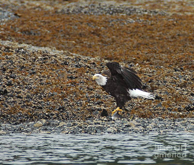 Photograph - Eagle Juneau Ak by Cindy Murphy - NightVisions