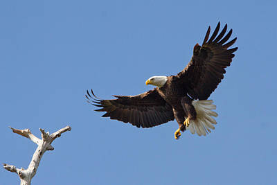 Print featuring the photograph Eagle Landing 2 by Phil Stone