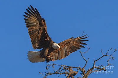 Photograph - Eagle Landing by Beth Sargent
