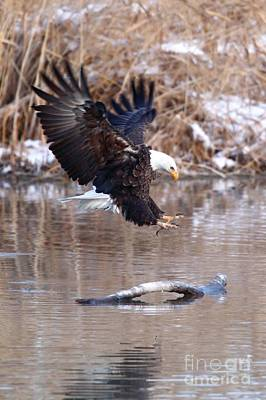 Photograph - Eagle Landing by Bill Singleton