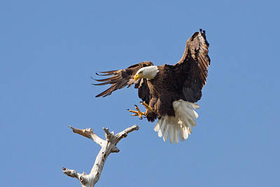 Print featuring the photograph Eagle Landing At Bayonne Preserve by Phil Stone