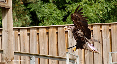 Photograph - Eagle Landing by Stwayne Keubrick