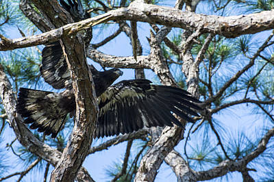 Photograph - Eagle Negotiates The Pine Limbs by Michael Gooch