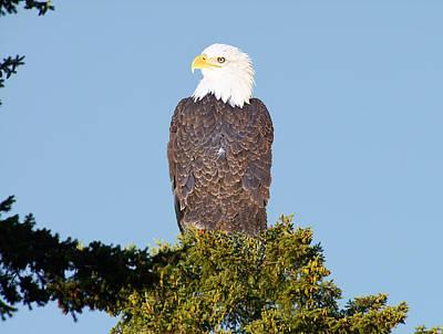 Eagle On A Branch Art Print