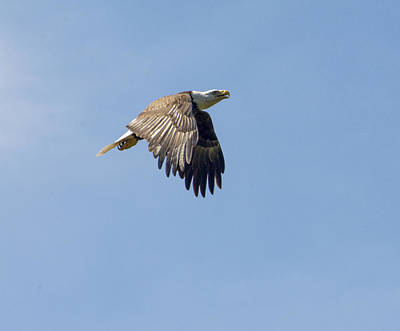 Photograph - Eagle On A Mission by Michael Gooch