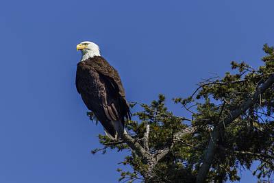 Eagle On Blue Art Print