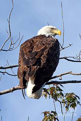 Photograph - Eagle On The Androscoggin by Butch Lombardi