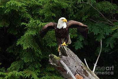 Photograph - Eagle On The Conecticut by Butch Lombardi
