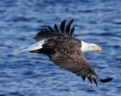 Photograph - Eagle Over Blue Water by Coby Cooper
