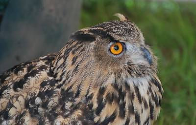 Photograph - Eagle Owl by Amy Porter