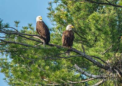 Photograph - Eagle Parents by Cheryl Baxter