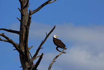 Canadian Wildlife Photograph - Eagle Perch by Kathleen Bishop
