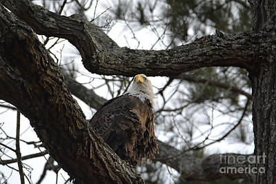 Photograph - Eagle Perched In A Tree by Jai Johnson