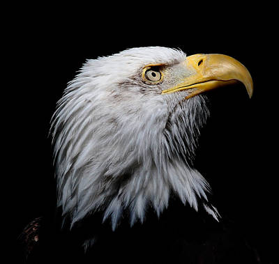 Photograph - Eagle Portrait II by Athena Mckinzie