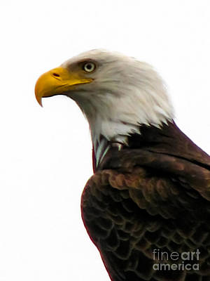 Photograph - Eagle Portrait by Robert Bales
