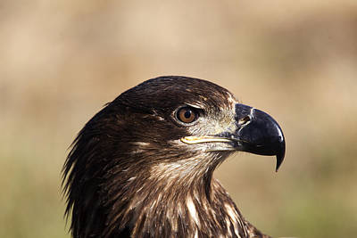 Photograph - Eagle Profile  by Doug Lloyd