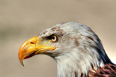 Photograph - Eagle Profile by Larry Trupp