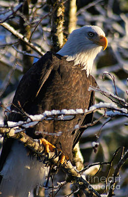 Photograph - Eagle Sunset by Stanza Widen