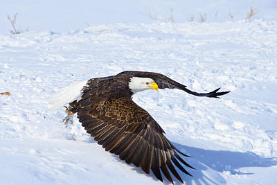 Eagle Take Off Print by Greg Norrell