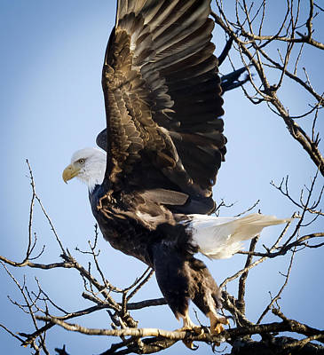 Photograph - Eagle Taking Off by Ricky L Jones