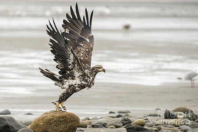 Photograph - Eagle Taking Off Rock by Dan Friend
