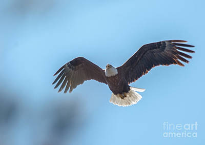 Photograph - Eagle Through The Trees by Cheryl Baxter