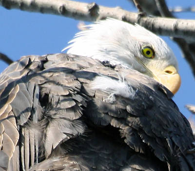 Eagle Art Print by Valerie Wolf