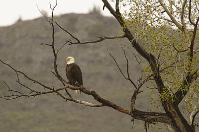 Photograph - Eagle Watch by Jack R Perry