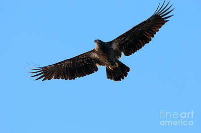 Eagle In Flight Photograph - Eagle Wings by Sharon Talson