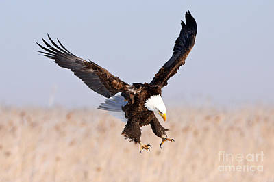Photograph - Eagle X by Bill Singleton
