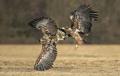 Eagle Photograph - Eagles Fighting by Xavier Ortega