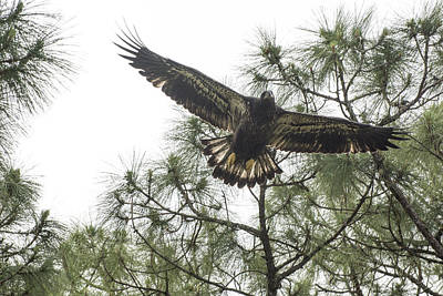 Photograph - Eagle's First Hunt by Michael Gooch