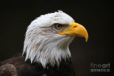 Bald Eagle Profile Art Print