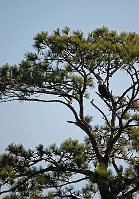Long Leaf Pine Photograph - Eagles Perch by Suzanne Gaff