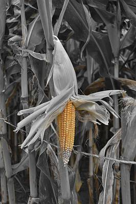 Photograph - Ear Of Corn by Thomas  MacPherson Jr