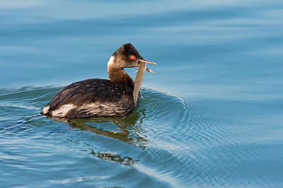 Photograph - Eared Grebe And Fish by Ram Vasudev