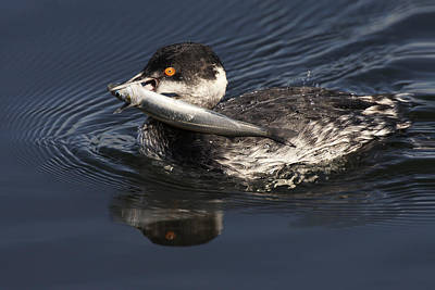 Photograph - Eared Grebe With Fish by Ram Vasudev