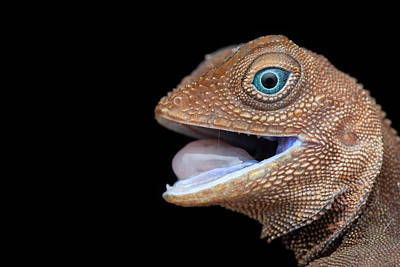 Earless Agamid Lizard (aphaniotis Fusca) Art Print by Melvyn Yeo