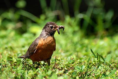 Photograph - Early Bird American Robin by Christina Rollo