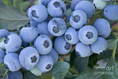 Early Blue Blueberries Art Print