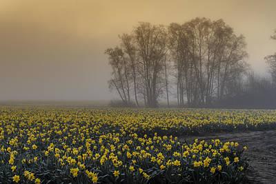 Early Morning Daffodil Fog Art Print by Tony Locke