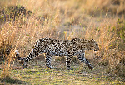 Photograph - Early Morning Leopard by June Jacobsen