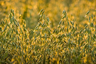 Photograph - Early Morning Oats by Bill Pevlor