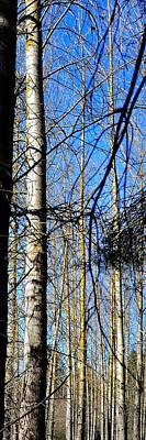 Jerry Sodorff Royalty-Free and Rights-Managed Images - Early Spring Aspens 180 by Jerry Sodorff