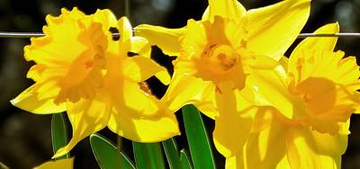 Jerry Sodorff Royalty-Free and Rights-Managed Images - Early Spring Daffodils 22246 2 by Jerry Sodorff