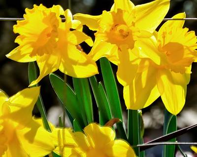 Jerry Sodorff Royalty-Free and Rights-Managed Images - Early Spring Daffodils 22246 by Jerry Sodorff
