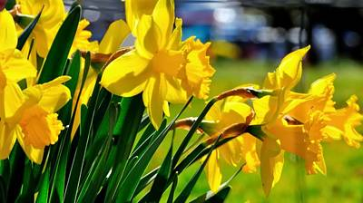Jerry Sodorff Royalty-Free and Rights-Managed Images - Early Spring Daffodils 22261 by Jerry Sodorff